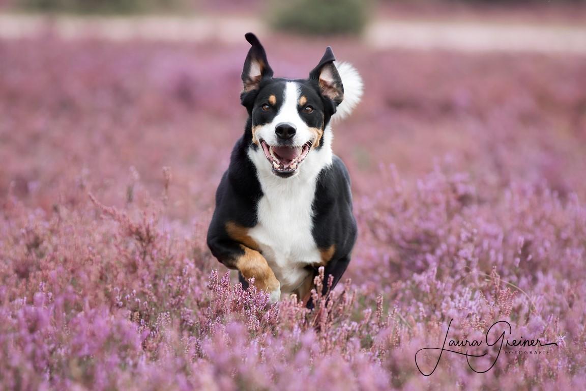 Hund läuft in Heidelandschaft (Foto: Tierfotografie Norddeutschland, Laura Greiner)